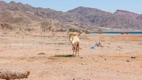 Путешествовать 2 верблюдов Стоковое Изображение RF
