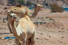 Путешествовать 2 верблюдов Стоковые Изображения RF