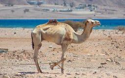 Путешествовать 2 верблюдов Стоковое Фото