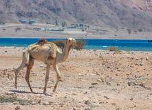 Путешествовать 2 верблюдов Стоковые Фотографии RF