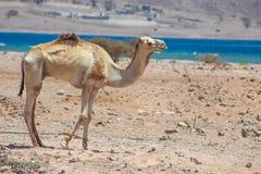 Путешествовать 2 верблюдов Стоковое Изображение