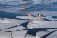 Путникы ледяного поля Стоковые Фотографии RF