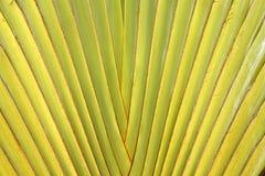 путник черенок ладони листьев Стоковое Изображение