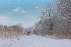 Путь вдоль обнаженных деревьев, кустарников и тростника зимы предусматриванных в снеге стоковое изображение