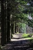 Путь вдоль соснового леса в лете стоковые изображения