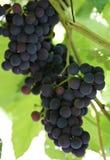 путь виноградин клиппирования пука включенный Виноградины вина на wineyard Стоковое Изображение RF