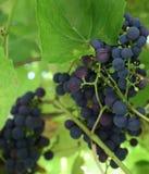 путь виноградин клиппирования пука включенный Виноградины вина на wineyard Стоковые Фотографии RF