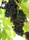 путь виноградин клиппирования пука включенный Виноградины вина на wineyard Стоковые Изображения RF