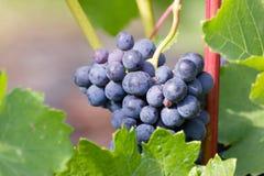 путь виноградин клиппирования пука включенный стоковое фото