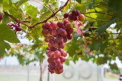 путь виноградин клиппирования пука включенный Стоковая Фотография RF