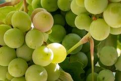 путь виноградин клиппирования пука включенный Стоковая Фотография