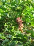путь виноградин клиппирования пука включенный Стоковые Изображения RF