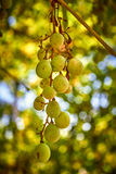 путь виноградин клиппирования пука включенный Стоковые Изображения