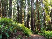 Путь водя через сочный, зеленый лес Redwood Стоковые Фото
