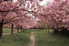 Путь выровнянный с деревьями Сакуры в цветени - путь вишневых цветов идя стоковые изображения
