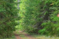 Путь в зеленом сосновом лесе Стоковые Изображения RF
