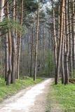 Путь в парке среди высокорослых сосен Стоковые Изображения