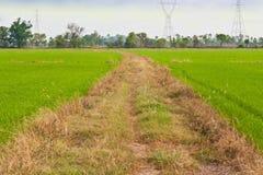 Путь в поле риса Стоковая Фотография