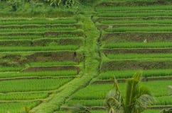 путь в полях риса Стоковые Изображения RF
