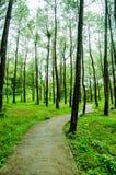 Путь в середине соснового леса Стоковая Фотография