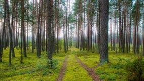Путь леса и туманный сосновый лес стоковые фото