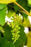 путь зеленого цвета виноградин клиппирования пука включенный Стоковые Фотографии RF
