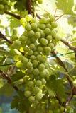путь зеленого цвета виноградин клиппирования пука включенный Стоковое Фото