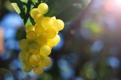 путь зеленого цвета виноградин клиппирования пука включенный Стоковое фото RF
