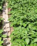 Путь и картошка Стоковые Изображения RF