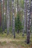 Путь леса a осени посыпанный с листьями Березы, сосна и спрус стоковые изображения