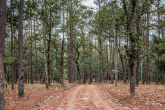Путь майны дорожки с зелеными деревьями в переулке леса красивом внутри Стоковая Фотография RF