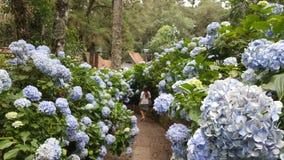 Путь между hortencias Стоковые Изображения RF