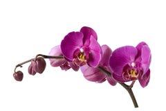 путь орхидеи ветви закрепляя включенный Стоковое Изображение RF