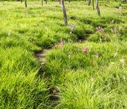 Путь прогулки в поле тюльпана Сиама Стоковые Фото