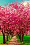 Путь прогулки окруженный с blossoming сливами стоковое изображение