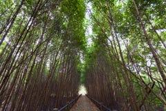 Путь пути в лесе мангровы Стоковые Изображения RF