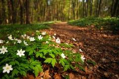 Путь пути в blossoming лесе весны, предпосылке природы стоковые изображения