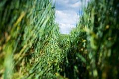 Путь пшеницы Стоковое Изображение RF