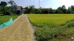 Путь риса зрел в сезоне сбора стоковые изображения rf