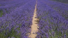 Путь среди лаванды водит к раю стоковое фото