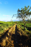 Путь среди плантации чая Стоковое фото RF