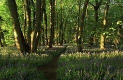 Путь с тенями отливки света Солнця через древесины Bluebell, древесины Northamptonshire Badby стоковые изображения rf