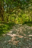 Путь цветения Лес Glenashdale, Arran, Шотландия Стоковые Фото
