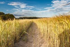Путь через поле рож Стоковая Фотография