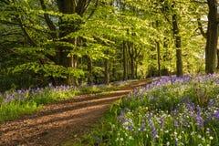 Путь через древесину bluebell Стоковое Изображение
