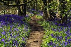 Путь через древесины Bluebell стоковое фото rf