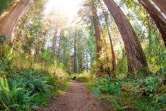 Путь через старые и огромные секвойи в солнце Стоковое Фото