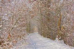 Путь через тоннель обнаженных деревьев зимы dshrubs, предусматриванный в снеге стоковая фотография