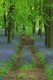Путь bluebell Стоковое Изображение