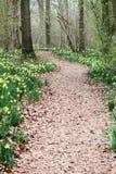 путь daffodils одичалый Стоковое Изображение RF